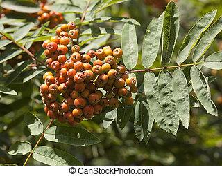 mountain ash berries in summer