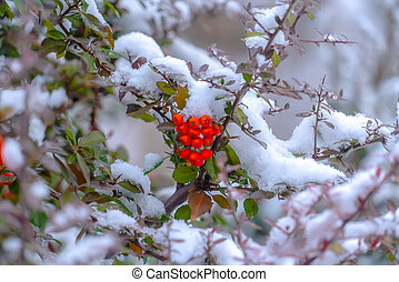 A cluster of red round fruits hanging on a tree covered with snow in winter