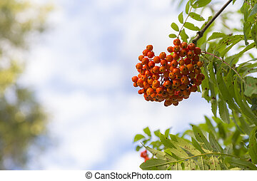 A cluster of ripe mountain ash