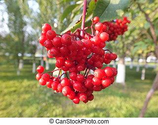 A cluster of rowan berries