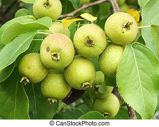A cluster of wild apples