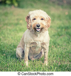 A Cockapoo dog sitting in the green grass