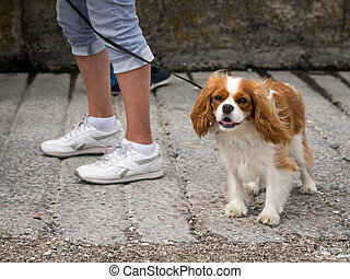 A cocker spaniel dog walking with owner on the street