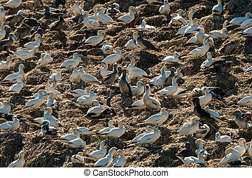 A colony of Northern Gannets on a sunny day in summer