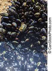 A colony of small live mussels on rocks on the ocean.