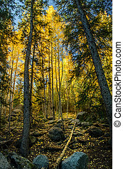 Aspen Tree Forest - A Colorado Aspen Tree Forest in the Fall