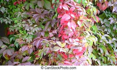 colorful autumn wild grape leaves