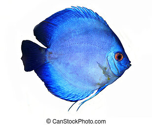 a colorful discus fish