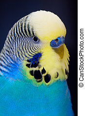 A colorful male budgie on dark background