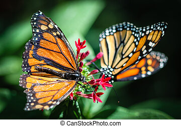 Monarch Danaus Plexippus - A colorful Monarch Danaus...