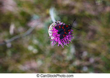 A colorful moth of the Zigenidi family on the jurinea mollis flower