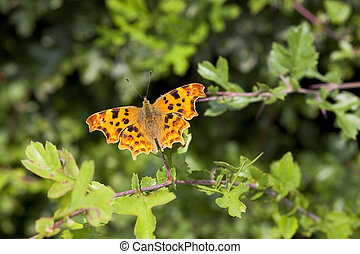 a comma butterfly latin name polygonia c album resting on an oak leaf in summer