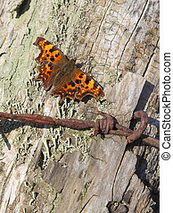 a comma butterfly polygonia c album resting on an old fence post