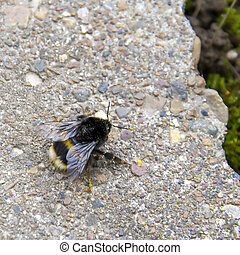 bumblebee on a rock