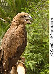 a common buzzard