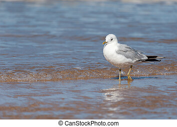 A common gull standing on the beach - A common gull (Larus...