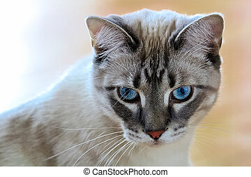A common housecat with vibrant blue eyes with a peach background
