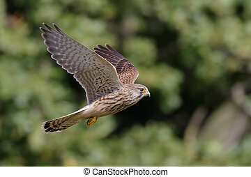 A Common Kestrel (Falco tinnunculus) takes to the air.