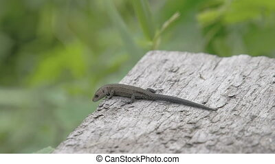 A common lizard on top of the roof in the forest. The common...