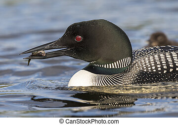A Common Loon carries a freshly caught fish to its chick in the background - Ontario, Canada