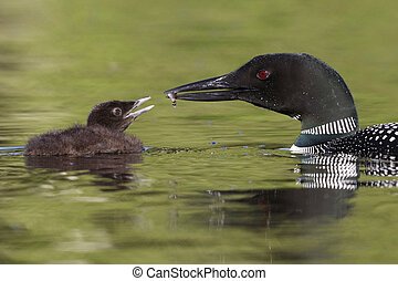 A Common Loon chick waits to be fed a freshly caught fish