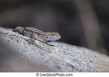 Side Blotched Lizard