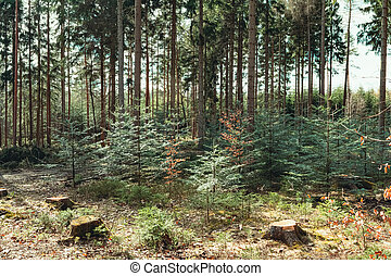 a coniferous forest in spring