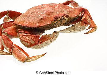 A cooked dungeness crab isolated on white.