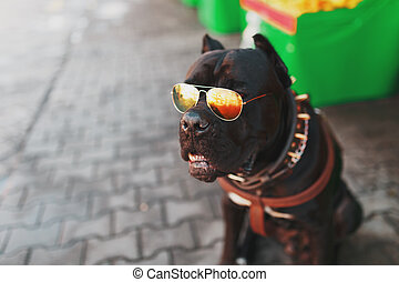 A cool and fashionable dog in golden studded sunglasses.
