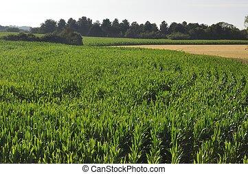 A corn field in Brittany