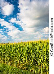 A corn field near Spring Grove, Pennsylvania.