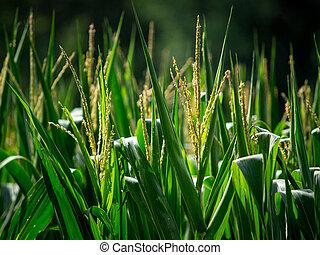 corn plantation - A corn plantation field close-up shot,...