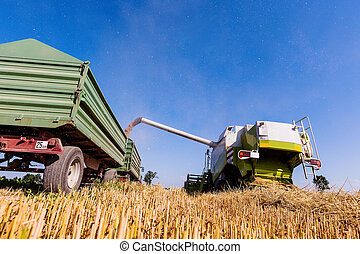 cornfield with wheat at harvest - a cornfield with wheat at...