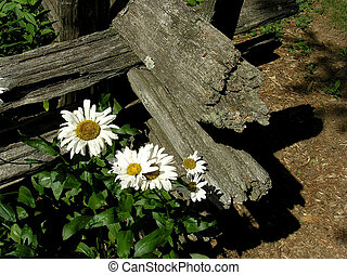 A country style arrangement. A corner of wooden fence with moon-flowers on the front.