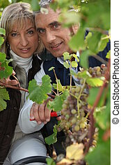 A couple harvesting grapes.