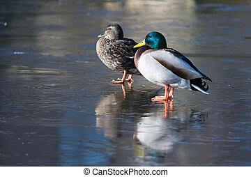 A couple of ducks standing on the ice