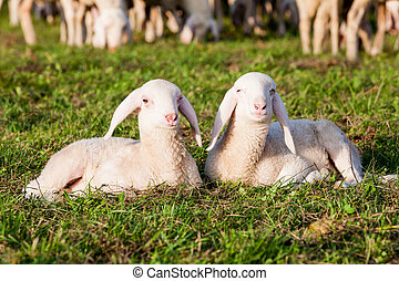 a couple of lamb brothers