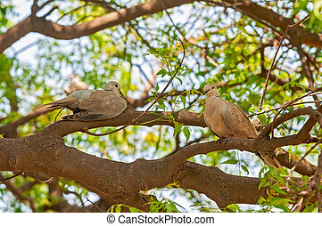 A couple of laughing dove sitting on a tree
