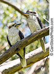 A couple of Laughing Kookaburra standing on the Twig. In Australia.