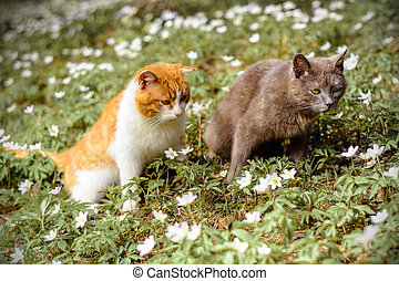 A couple of lovers cats walking along the spring garden in flowers anemones
