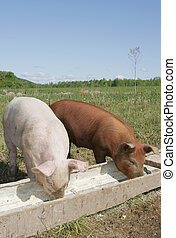 pigs eating - a couple of pigs eating in a trough together