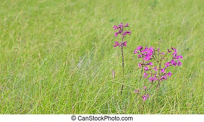 A couple of pink wildflowers in the field among the thick grass. The wind is blowing. Viscaria vulgaris