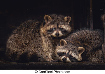 A couple of racoons looking into the camera