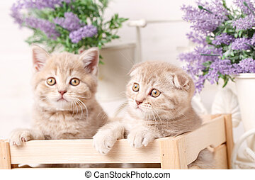 A couple of Scottish red kittens sit in a decorative wooden box.