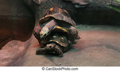 A couple of tortoises are having se