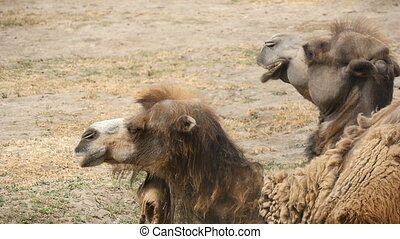 A couple of two humped camels lying on the soil in zoo in summer in slow motion