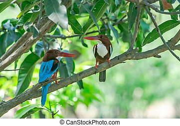 A couple of White breasted kingfisher perched on a mango tree