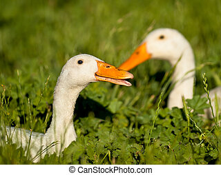 A couple of white duck