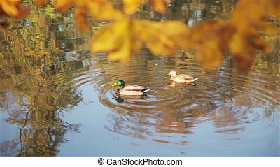 A covey of wild duck is in the river. Full HD