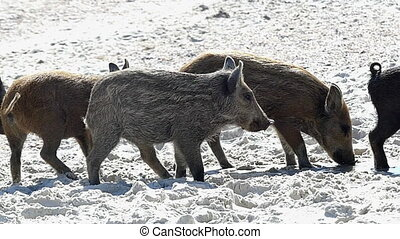 A covey of wild piglets entertain on a seacoast in slo-mo